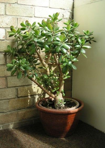 Puedes cultivar la Crassula ovata en maceta