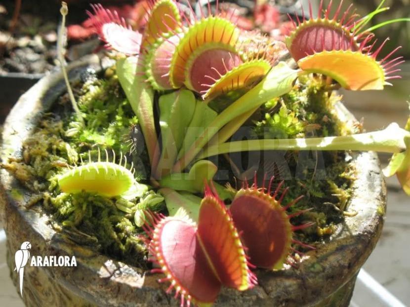 Dionaea B52