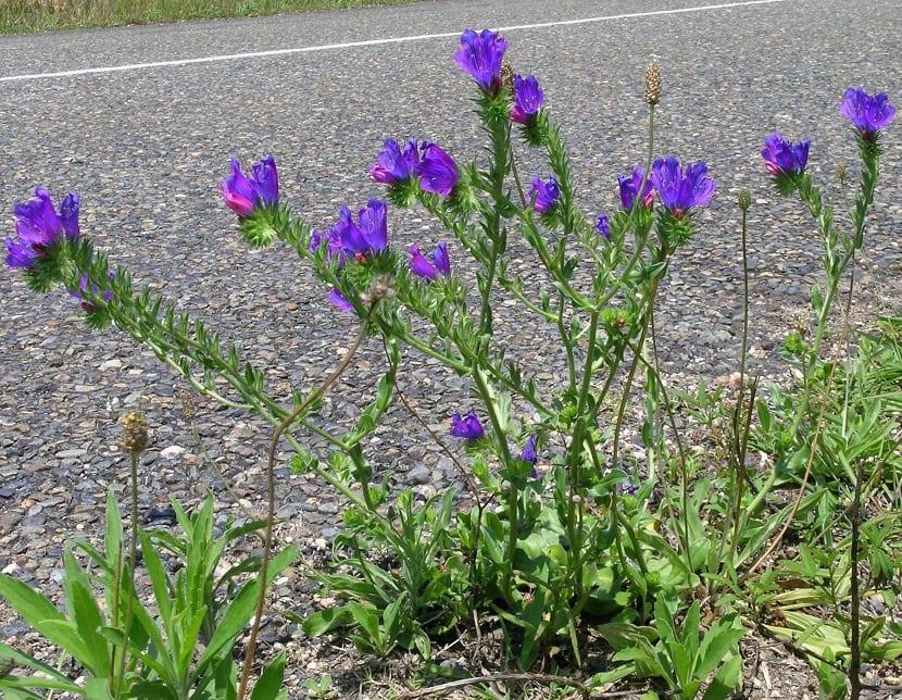 Usos que se le pueden dar a la Echium Plantagineum