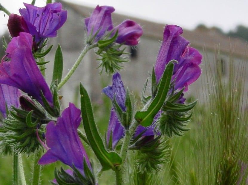 la Echium Plantagineum cuenta con propiedades medicinales