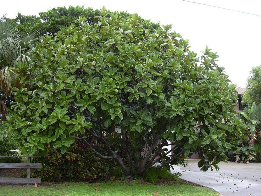 Ejemplar adulto de Ficus lyrata
