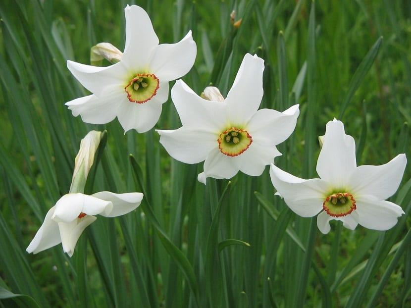 Este Narciso produce tan solo una flor por cada tallo