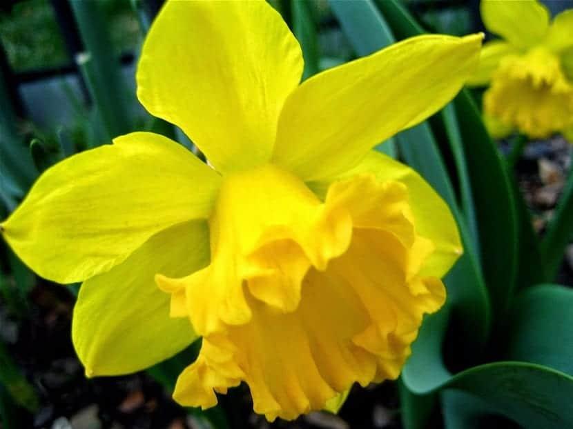 Este tipo de Narciso produce solo una flor por cada tallo