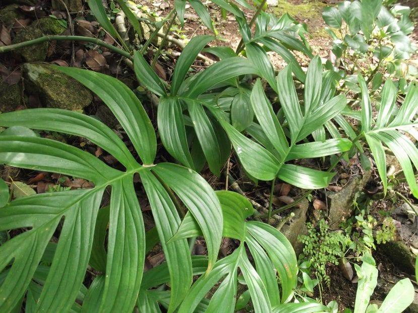 Ejemplar de Philodendron elegans