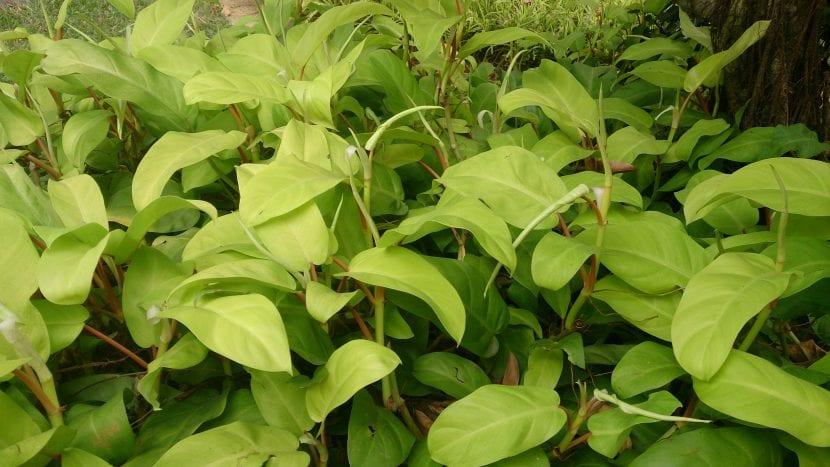 Ejemplar de Philodendron erubescens