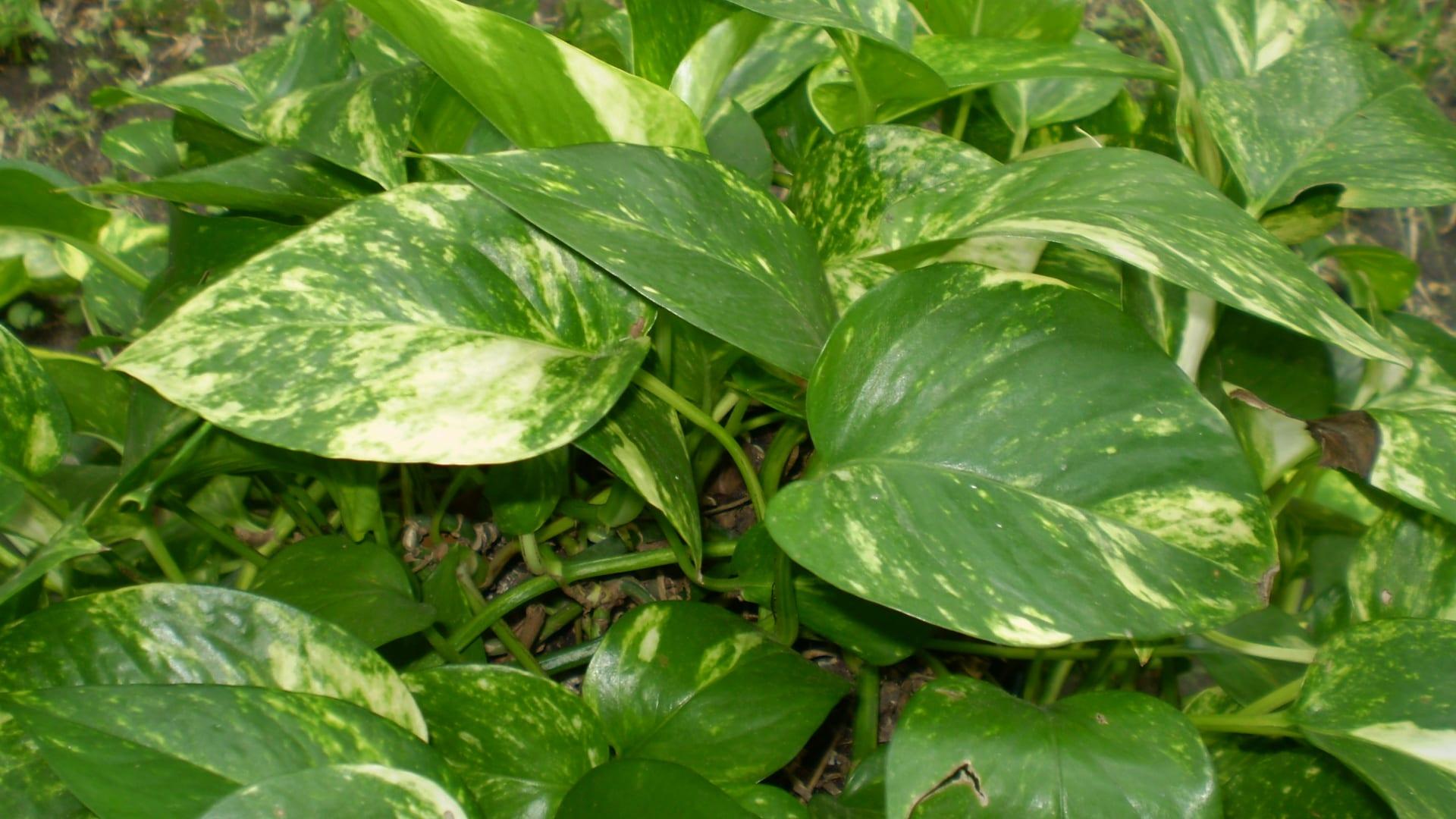 Ejemplar de Philodendron scandens subsp. oxycardium