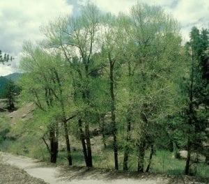 Ejemplares del Populus angustifolia
