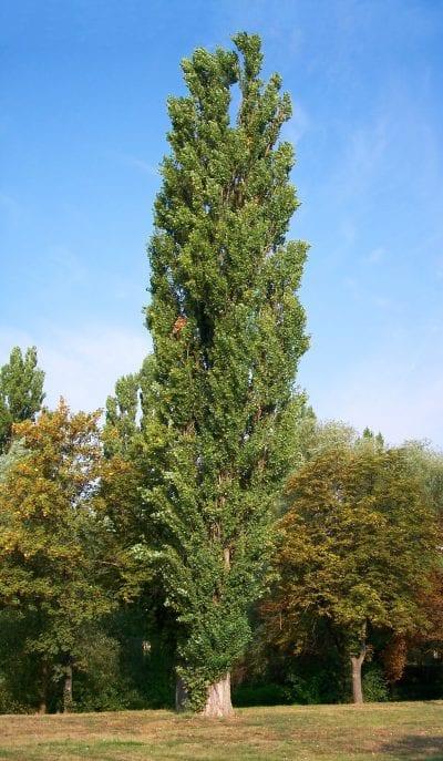 Ejemplar adulto del Populus nigra
