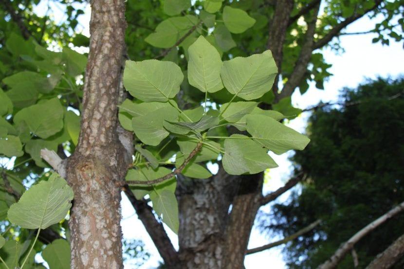 Vista del tronco y de las hojas del Populus wilsonii