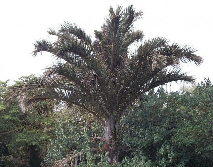 Raphia, una palmera con la que se hacen cuerdas