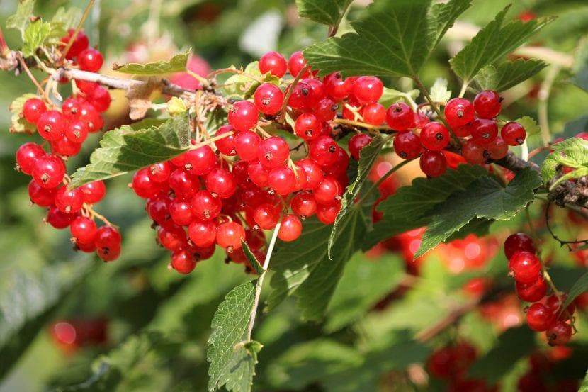 Ribes rubrum es el nombre científico de la grosella