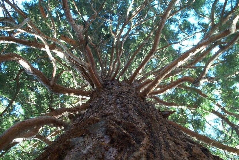 Ejemplar de Sequoiadendrum giganteum