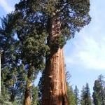 Vista de un ejemplar de Sequoiadendron giganteum