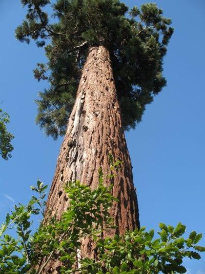 Tronco y hojas del Sequoiadendron giganteum