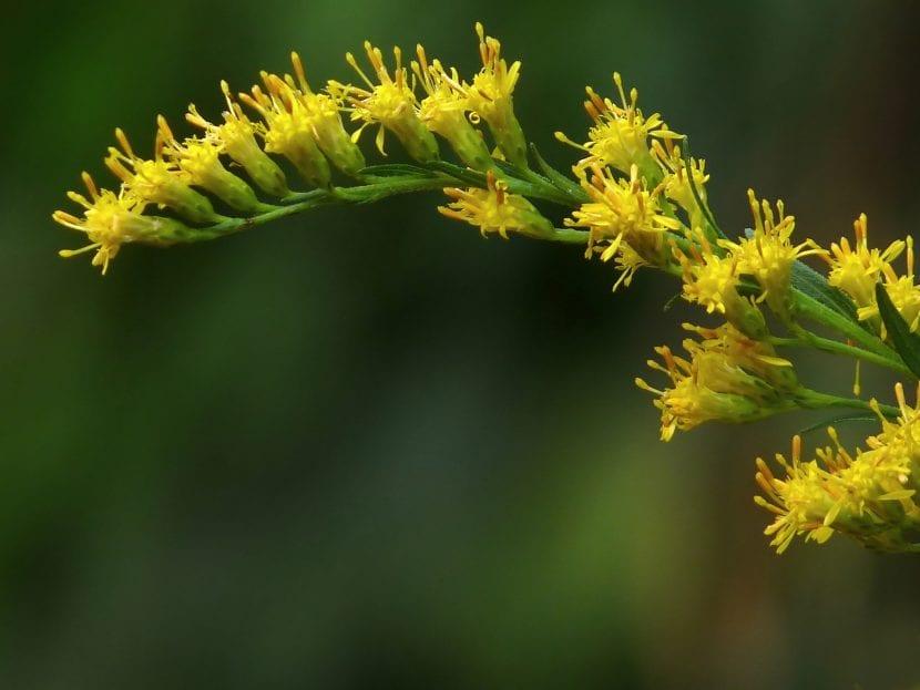 La Solidago candensis es una hierba excepcional para maceta