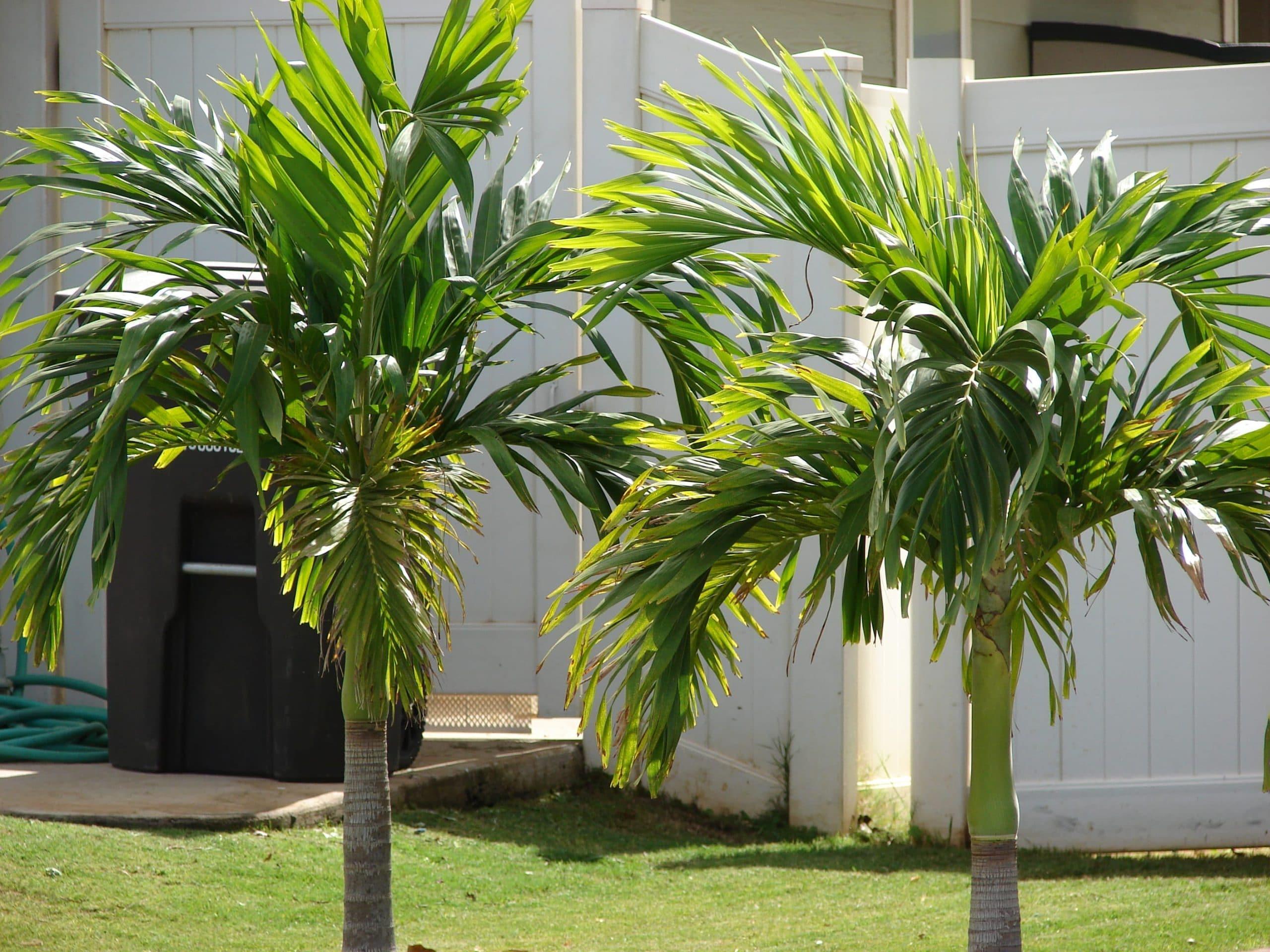 Jóvenes palmeras de Veitchia merrillii