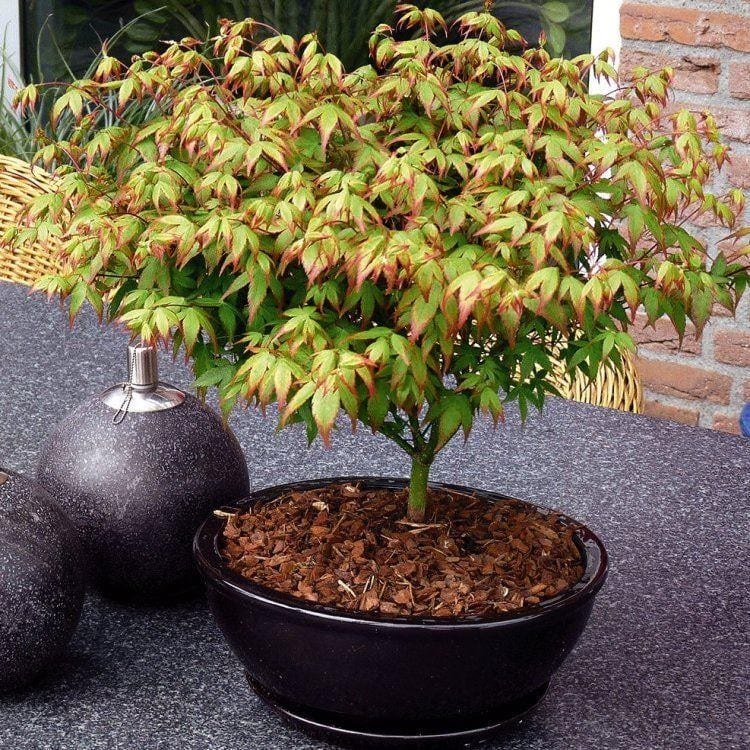 Vista del Acer palmatum cv Little Princess