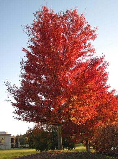 Acer saccharinum en otoño