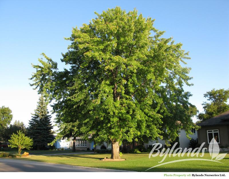 Acer saccharinum adulto