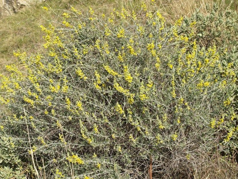 La albaida es una planta a la que le encanta el sol directo