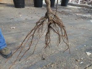 Árbol a raíz desnuda