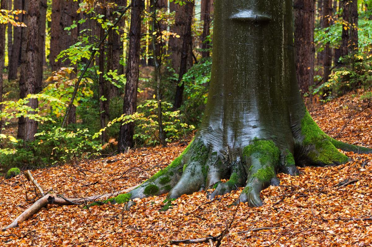Los árboles de hoja caduca pierden la hojas