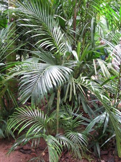 Ejemplar de Areca rheophytica