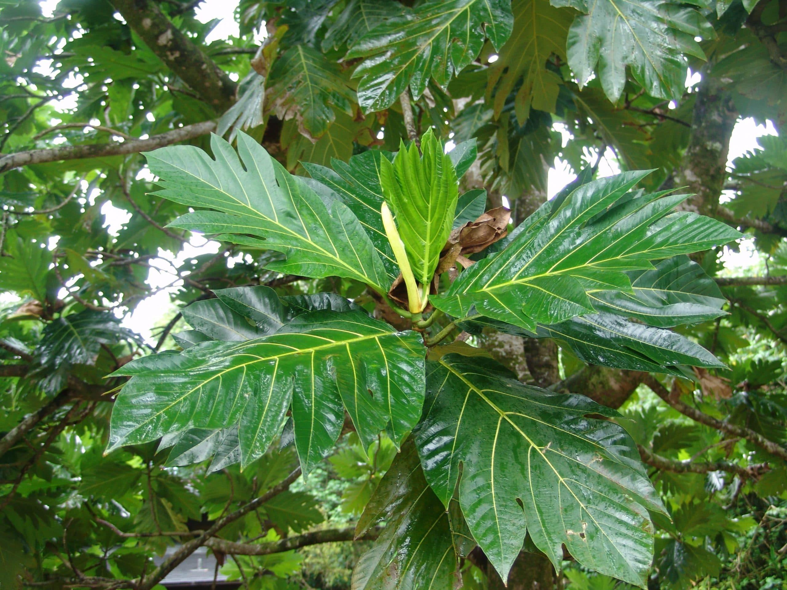 Vista de las hojas del árbol del pan