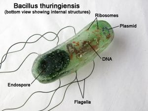 Imagen del Bacillus thuringiensis