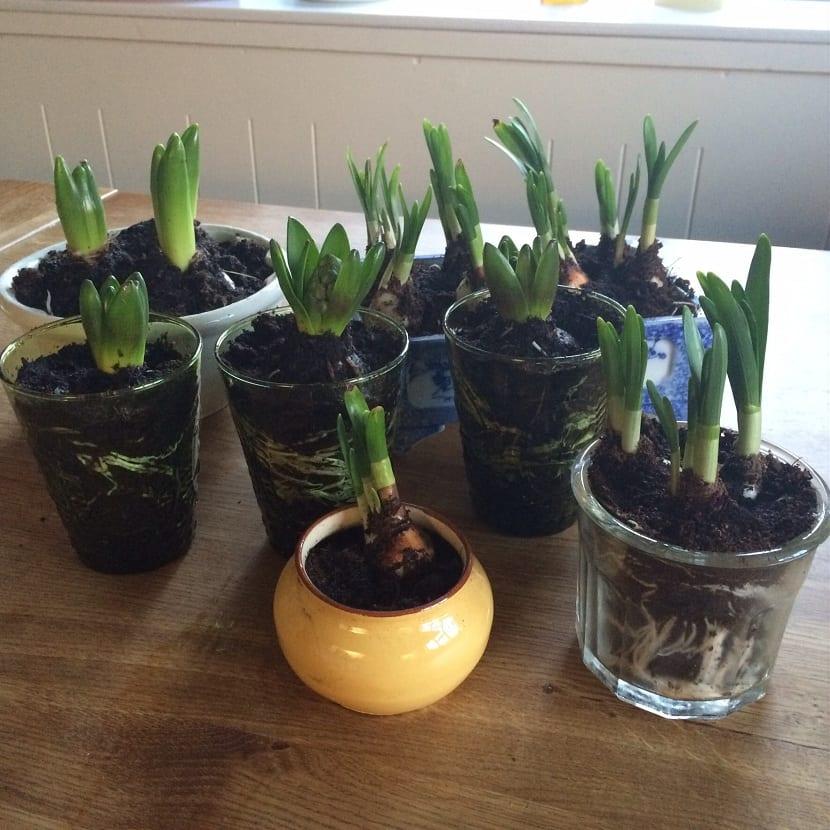 bulbos del jacinto