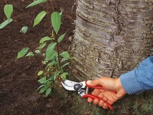 Es importante cortar los chupones de los árboles