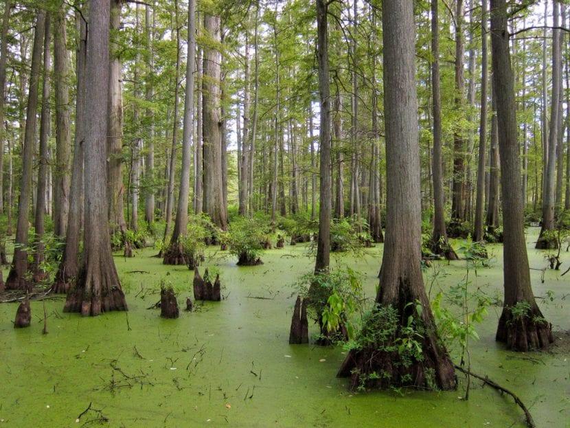 Ciprés de los pantanos en hábitat