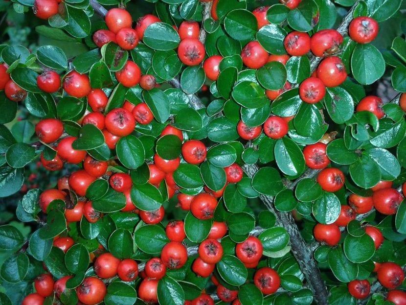 El Cotoneaster produce frutos a finales del verano