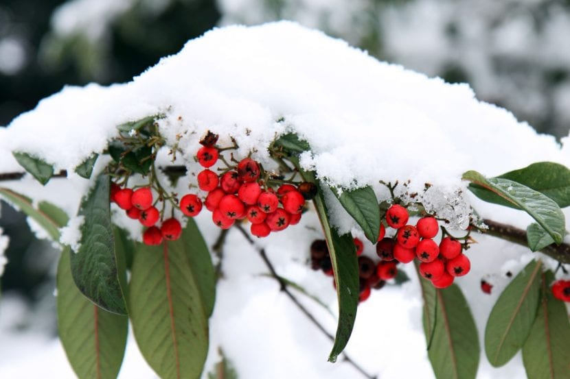 El Cotoneaster resiste bien las heladas y nevadas