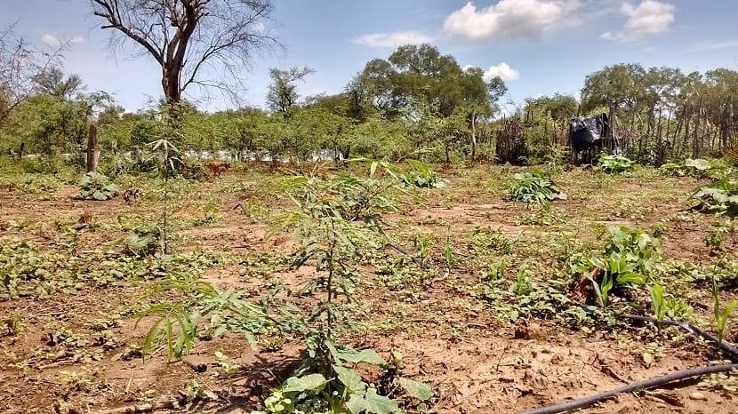 cultivo del algarrobo