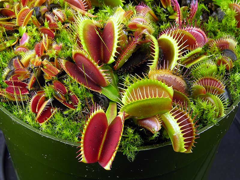 Dionaea Big Mouth