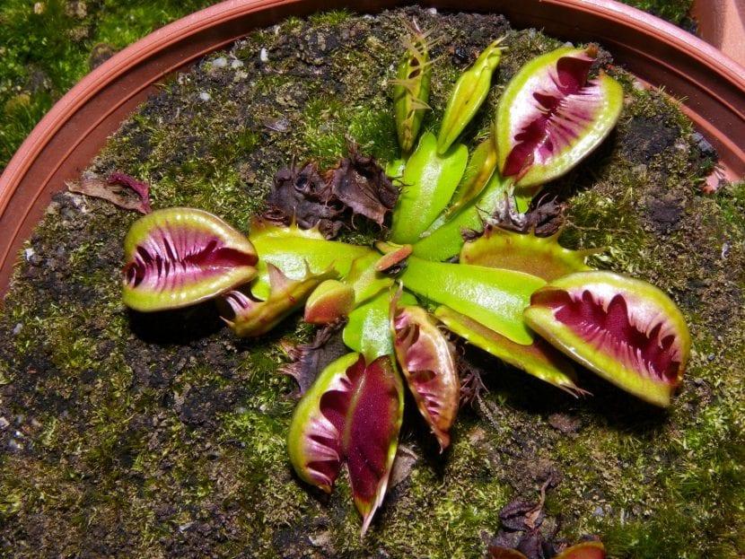 Dionaea Fused Tooth