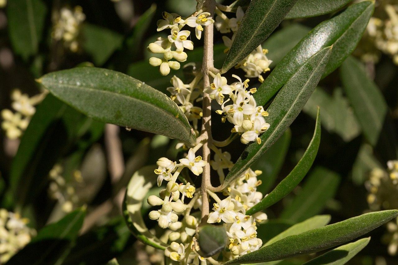 Las flores del olivo brotan en primavera