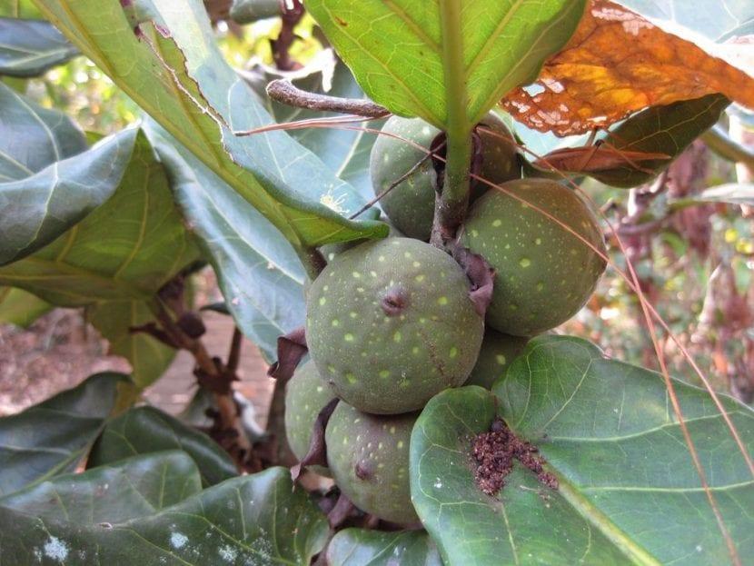 Vista de las hojas y frutos del Ficus lyrata