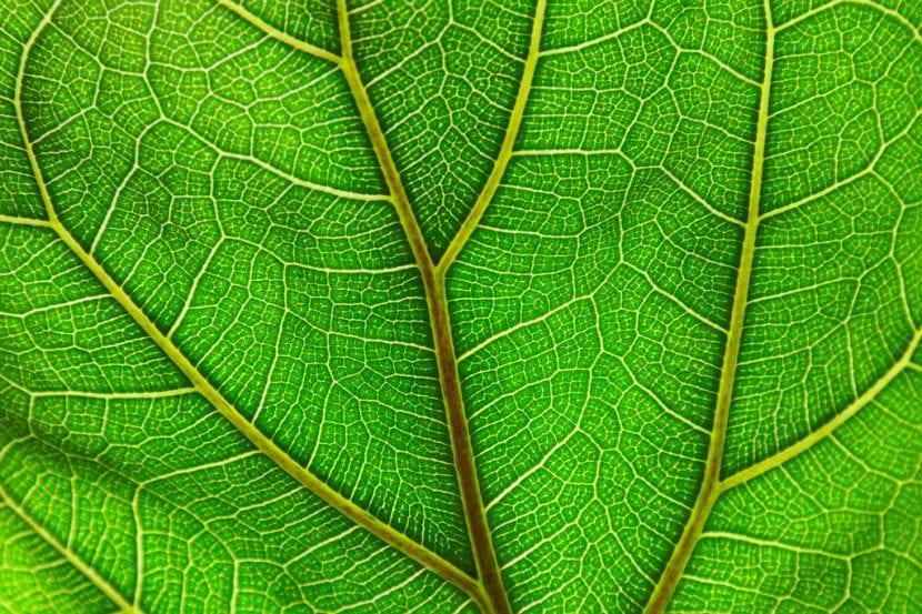 Las hojas del Ficus lyrata son grandes y bonitas