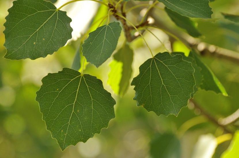 Vista de las hojas del Populus tremula