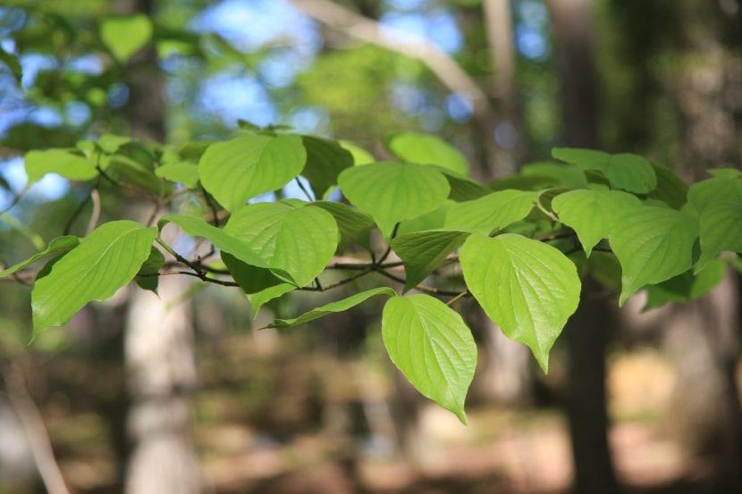 Vista de las hojas del Cornus florida