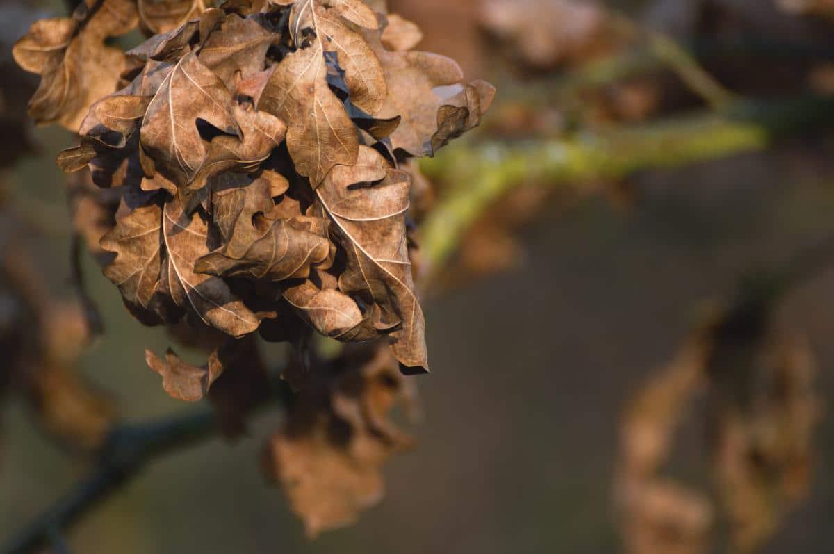 Las hojas se vuelven marrones por algún motivo