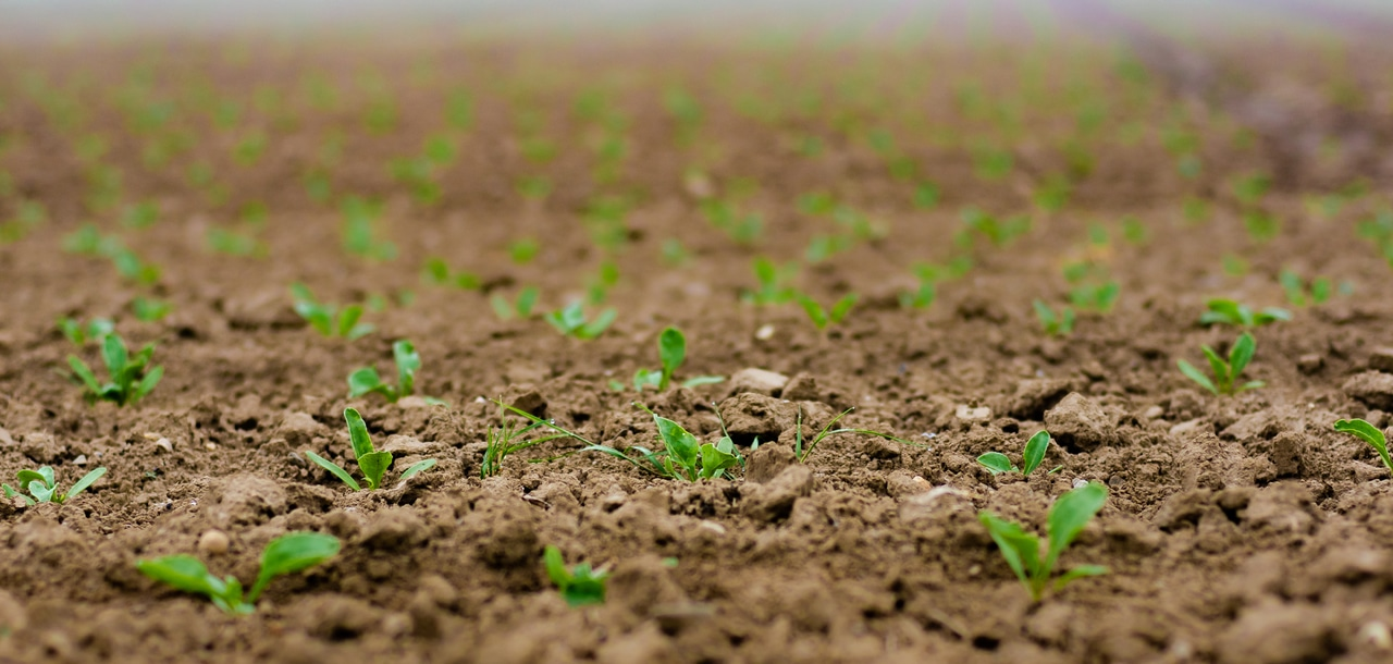 La siembra directa es una técnica de cultivo