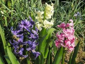 jacinto florecido