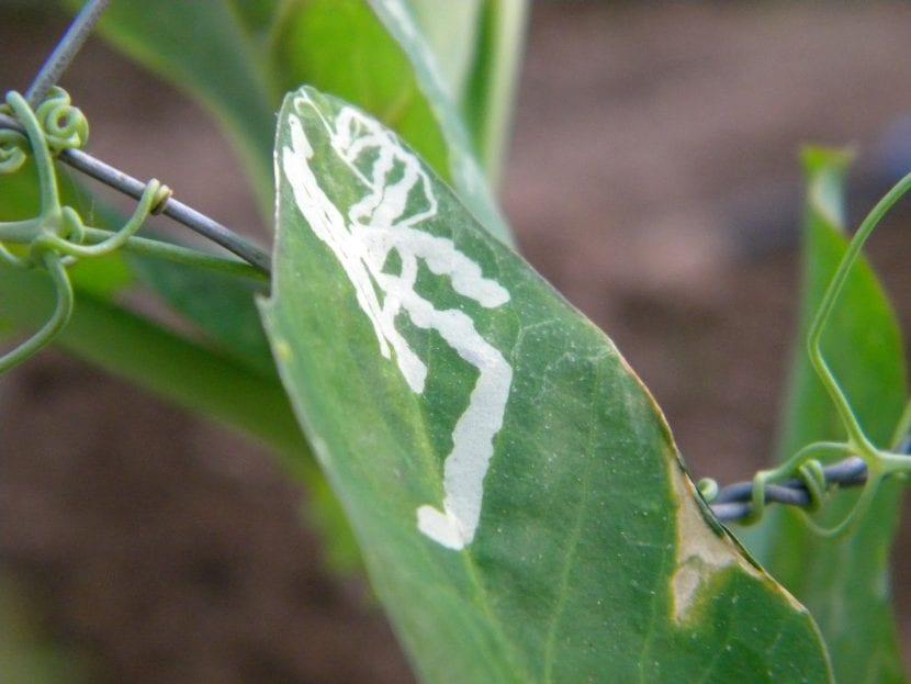 Minador en hojas