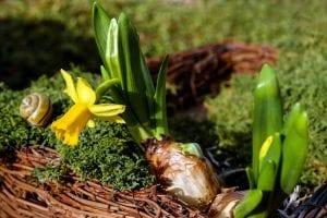 El Narciso es una flor que podemos cultivar bien sea en exteriores como en interiores