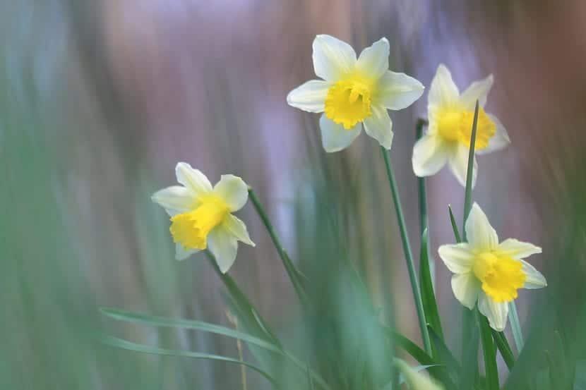 narcisos en flor buscando la luz del dia