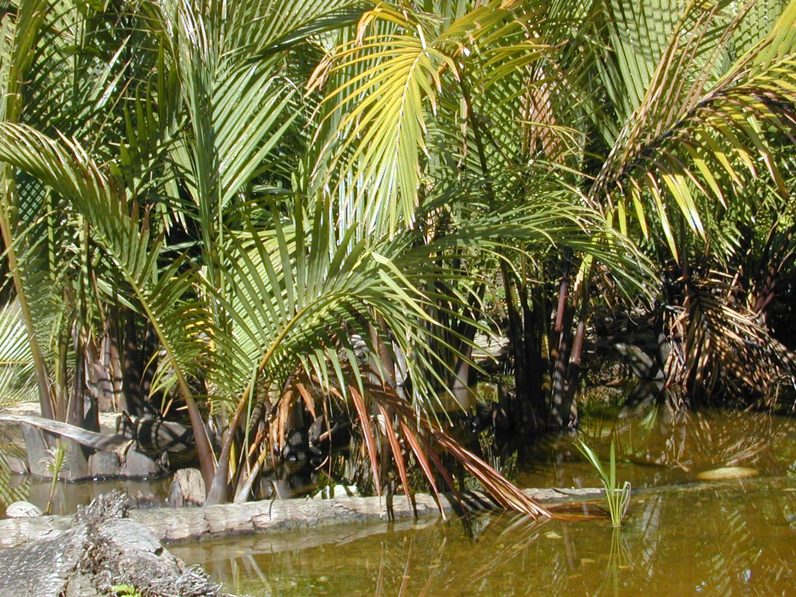 Palmeras Nypa fruticans en hábitat