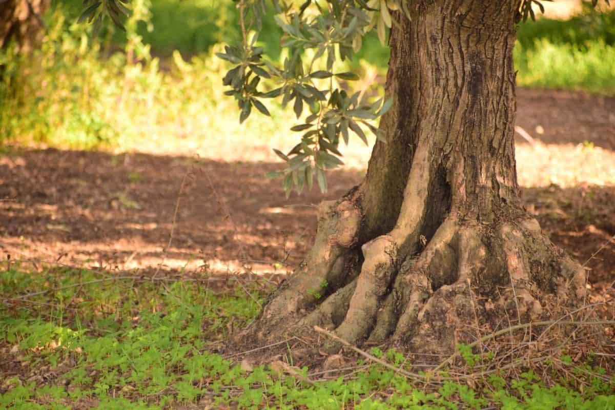 El olivo es un árbol originario del mediterráneo